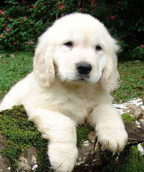 what are white golden retrievers called the about white golden retrievers pethelpful