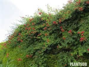 Honeysuckle Flowers - campsis lour trumpet creeper