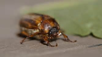 this month s bug the quot june bug quot catseye pest control
