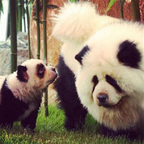 dogs that look like pandas 15 dogs that don t look like dogs