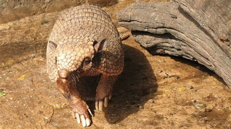 humans   leprosy  contact  armadillos