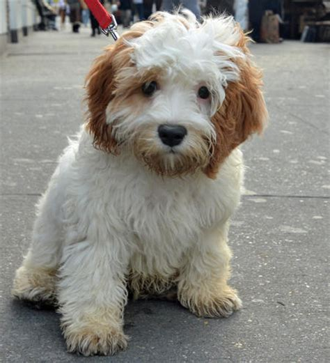 golden retriever havanese mix boxer havanese mix breeds picture
