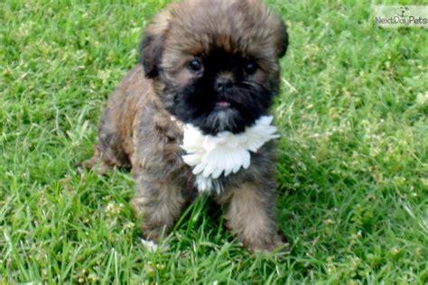 shiffon puppies for sale brussels griffon puppy for sale near st louis missouri 34635b99 5ea1