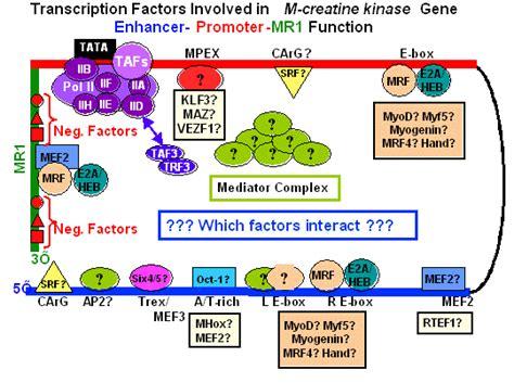 creatine kinase function uw biochemistry faculty stephen hauschka
