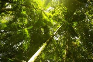 Canopy Plants In The Rainforest by Rainforest Canopy Www Imgarcade Com Online Image Arcade