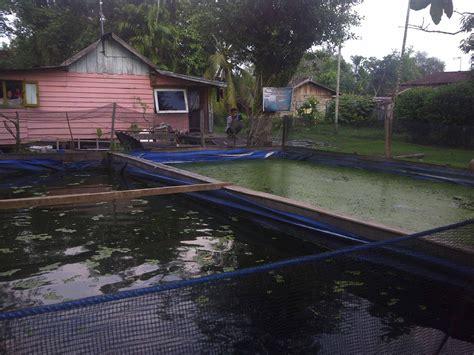 Bibit Ikan Gurame Riau pnpm mandiri perkotaan provinsi riau budidaya gurame