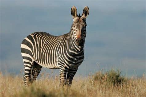 Mountain Zebra | The Life of Animals