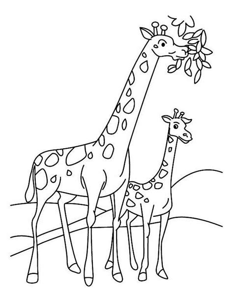 giraffe eating coloring pages giraffe eating leaves drawing