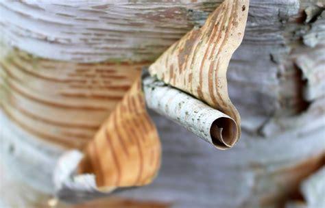 How To Make Birch Bark Paper - paper bark or both earthstar