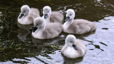 black swan and babies birds swans swimming baby birds wallpaper 1920x1080
