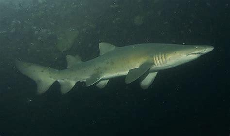 baby shark mix baby tiger shark megalodon shark