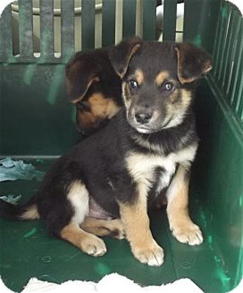 puppies for adoption in wv bert adopted puppy morgantown wv german shepherd mix