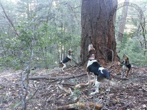 how to a hound to hunt hound facts california houndsmen for conservation