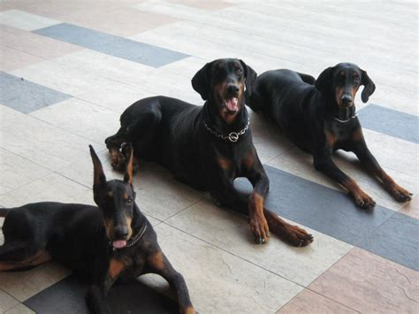 how to doberman to be a guard doberman doberman guard or