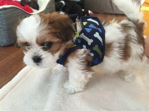 8 week shih tzu 8 weeks shih tzu size weight and pictures