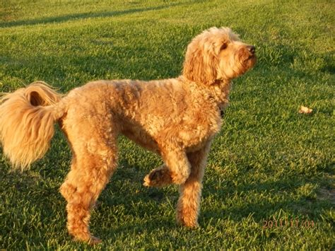 pictures of female labradoodles haircuts labradoodle haircut pictures you summer haircut