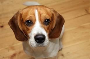 breed spotlight beagle