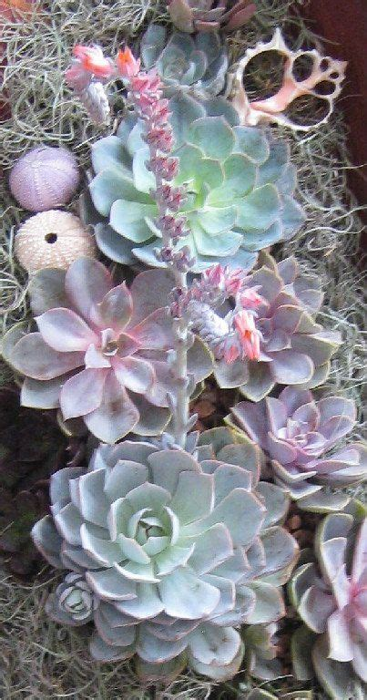 succulents in spain 851 best images about sedums succulents on gardens agaves and succulent wall