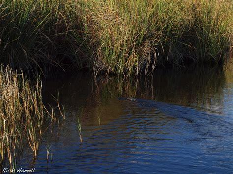 alligator boat in the everglades hamell net