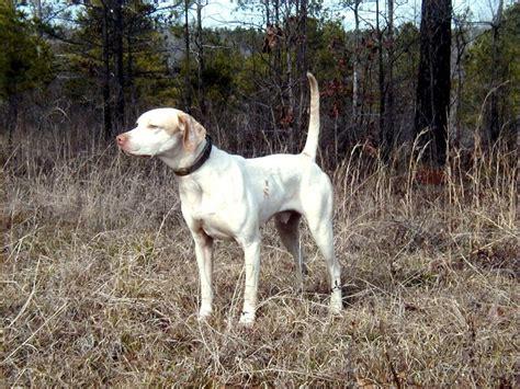 laser pointer for dogs white pointer phillips whiteline kennels indiana pointer breeders