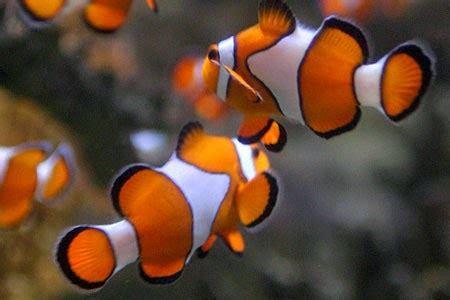 Makanan Ikan Gobi Hias fakta unik dari ikan badut clown fish daftar ikan hias