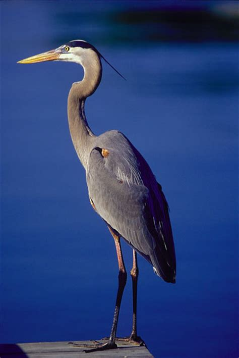 i asked the blue heron books blue heron before i moved i was looking through an animal