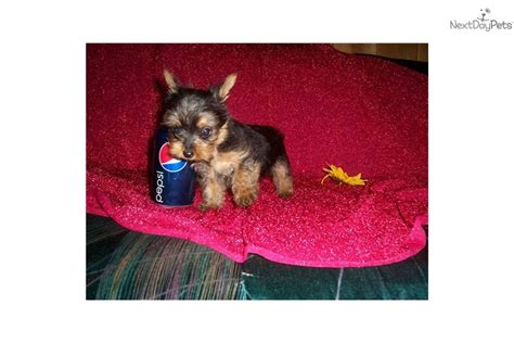 puppies for sale in kalispell mt terrier yorkie puppy for sale near kalispell montana d9dfd728 de91