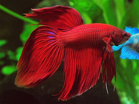 betta splendens alimentazione 10 pesci facili per l acquario d acqua dolce