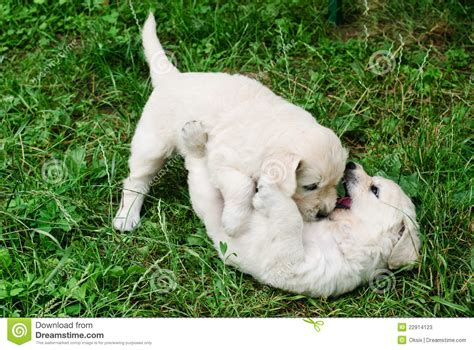 playful puppy playful puppies stock photos image 22914123