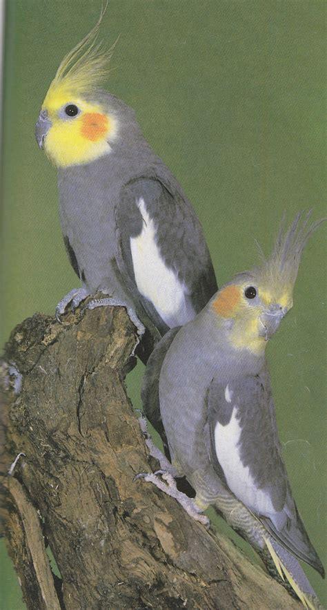 cockatiels  mimicry cockatiels  pets