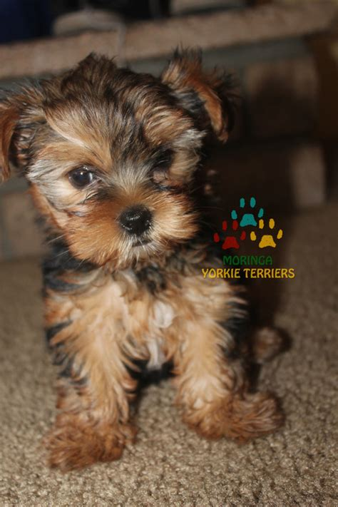 yorkie puppies for sale in riverside ca yorkie puppies for sale moringa yorkie teacups terriers grooming products