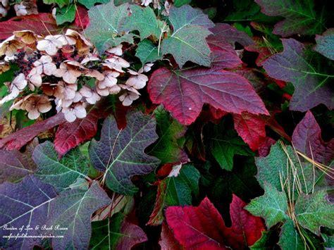 Plants To Consider | Our Fairfield Home & Garden Oak Leaf Hydrangeas In Winter