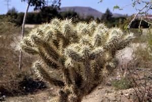 cholla cactus photos diagrams topos summitpost