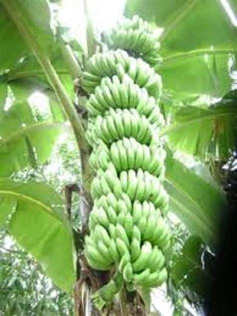 pianta di banano in vaso coltivazione banano piante in giardino coltivare il banano