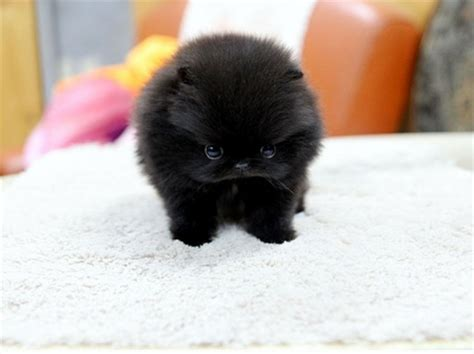 how big are teacup pomeranians black teacup pomeranian puppy dogs animals background wallpapers on desktop nexus
