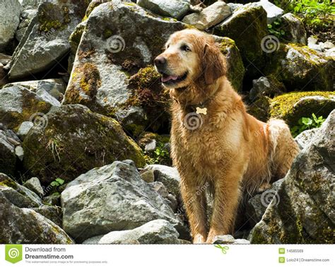 golden retriever hiking golden retriever on hike royalty free stock images image 14585569