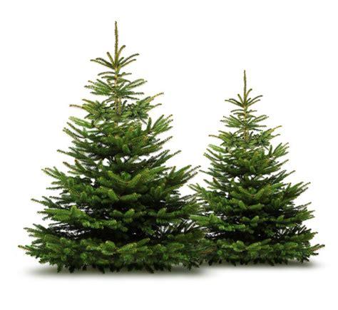 weihnachtsbaum nordmanntanne abies nordmanniana