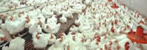 Bibit Ayam Potong Hari Ini harga ayam broiler hari ini realisasi harga ayam broiler