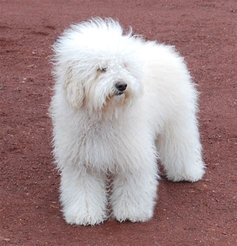 white labradoodle puppies miniature labradoodle info temperament puppies pictures