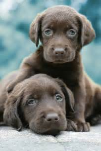 Lab Puppies Two Chocolate Lab Puppies Pictures Photos And Images For