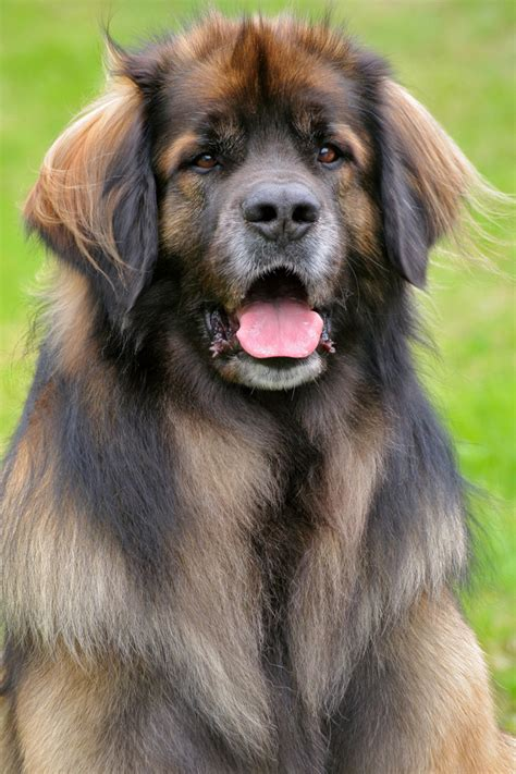 s breeds leonberger breed pictures pictures breeds picture