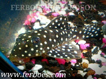 Makanan Ikan Hias Sapu Sapu apa bedanya ikan sapu sapu dengan ikan pleco ferboes