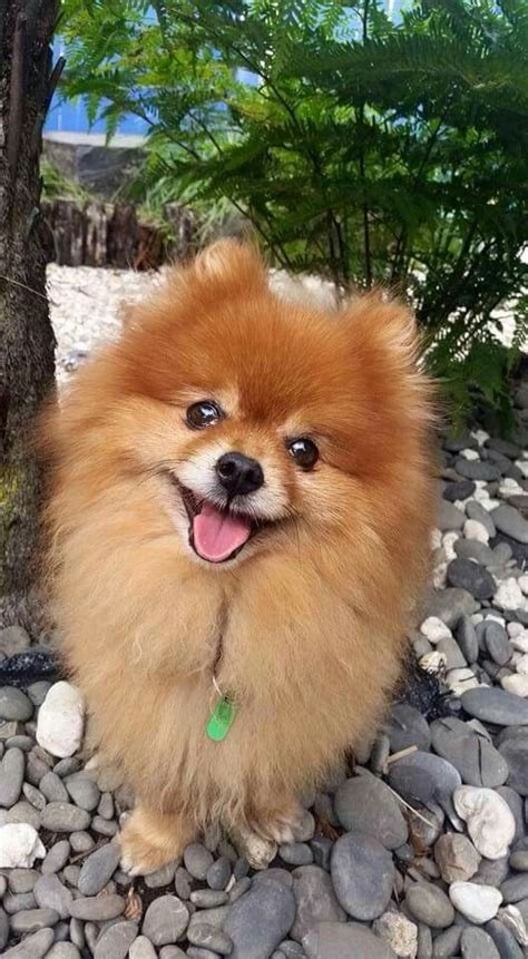 Pom Pom Top Atasan Anak Lucu 1366 best pomeranians images on pomeranians