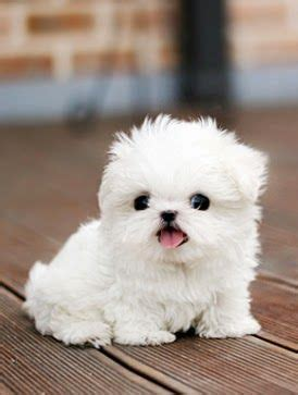 cutest teacup puppies best 25 puppies ideas on dogs and puppies adorable puppies and