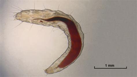 what color are fleas what do flea larvae look like fleascience