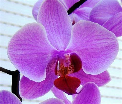 cura delle orchidee in appartamento cura delle orchidee orchidee