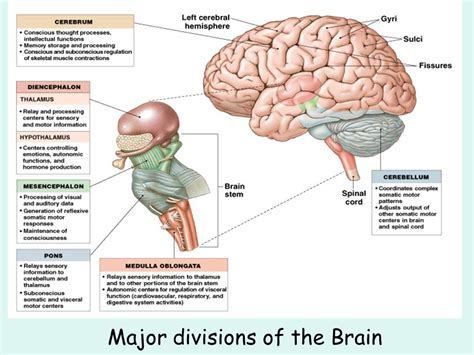three main sections of the brain the brain and cranial nerves ppt video online download