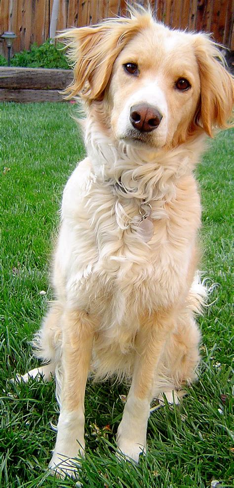 golden retriever mixed breeds golden retriever border collie mix so puppy power