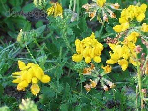 are lotus flowers poisonous lotus corniculatus bird s foot trefoil baby s slippers