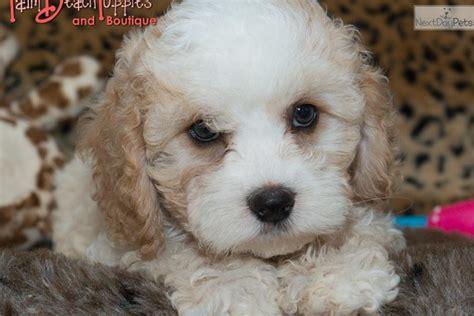 cockapoo puppies for sale in florida cockapoo puppy for sale near west palm florida 761da07e dab1